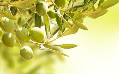 ¿Qué propiedades y beneficios tienen las aceitunas?